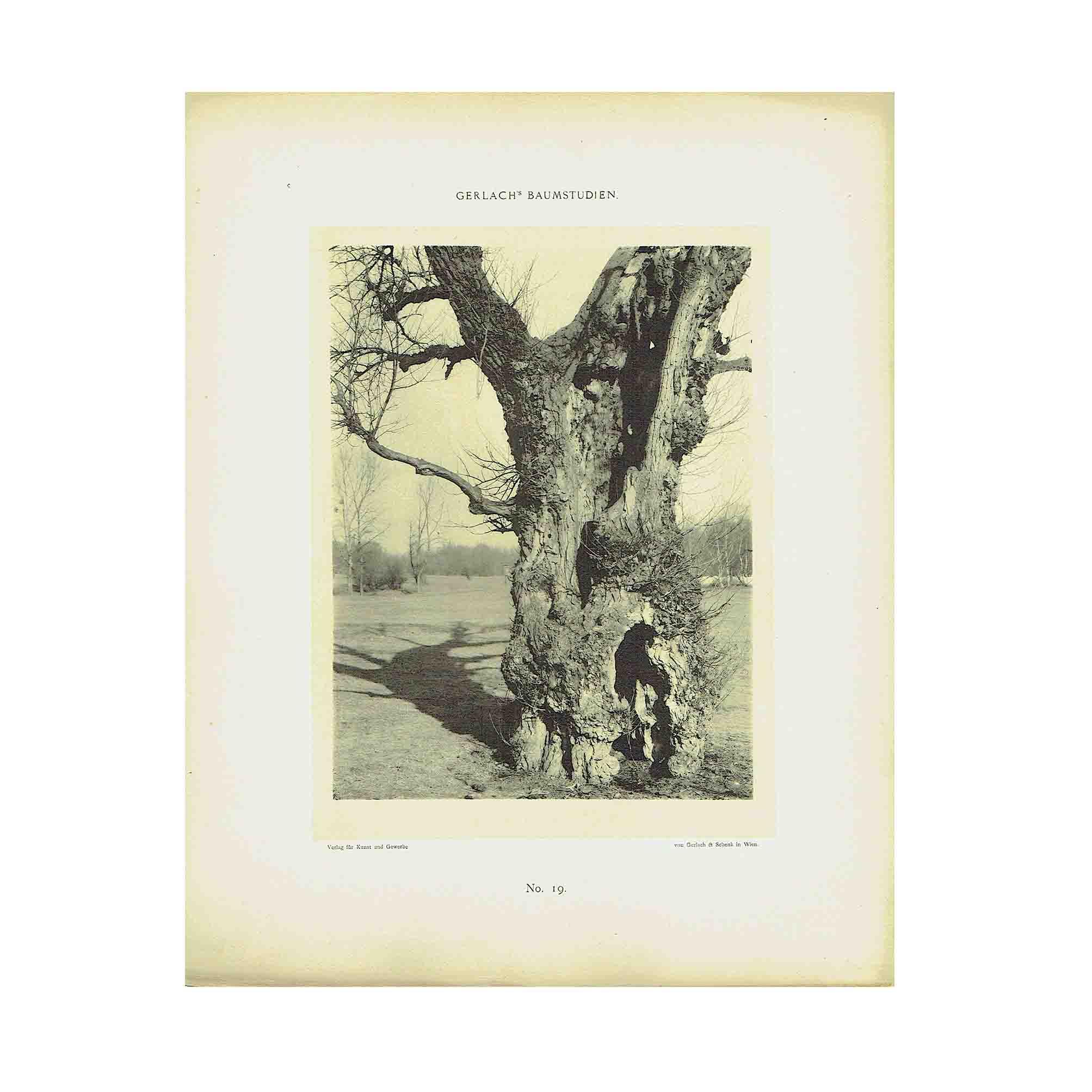 5590-Gerlach-Baumstudien-1900-Tafel-19-N.jpg